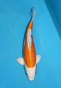 11 Hariwake 32 cm Tosai