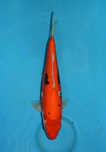 19 Beni Kumonru 33 cm Tosai