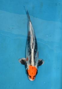 22 Beni Kikokuryu 30 cm Tosai