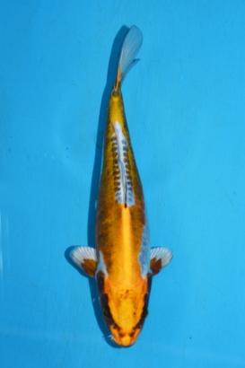 27 Metallic Cogane Ochiba 30 cm Tosai