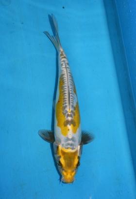 33 Golden Kin Ochiba 33 cm Tosai