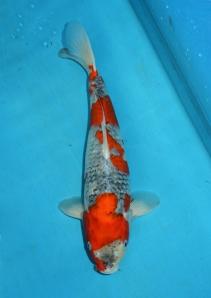 Goshiki Jumbo Tosai 39 cm